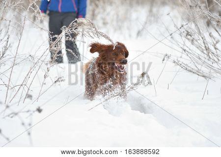 Dog Breed Irish Red Setter