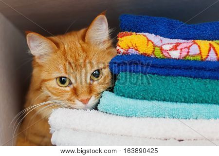 Cute ginger cat hides in a pile of towels. Fluffy pet with wary eyes tried to sleep in forbidden place - wardrobe with clean and ironed clothes and towels. poster