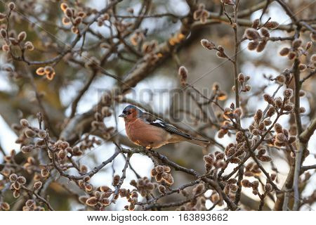 Singing bird on a branch against the evening sun, Spring buds on the trees, bird singing, finch