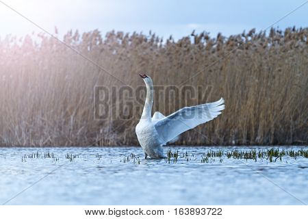 mute swan on blue lake flutters with sunny hotspot, great white bird, storm, cloudy skies