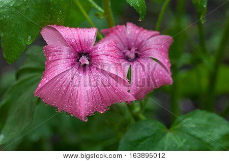 Malva Flowers And Rain