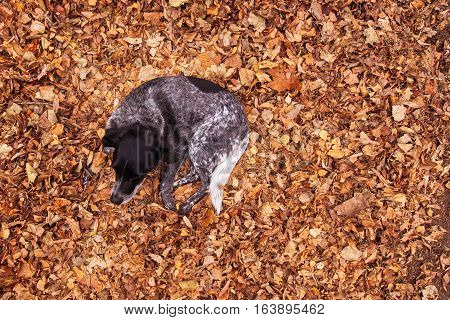Old stray dog in pile of fallen autumn leaves top view