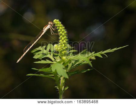Damselfly resting on blooming ragweed (artemisiifolia) over dark background