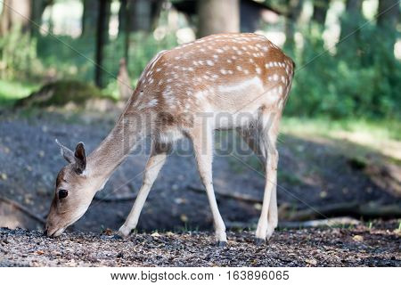 A fallow deer on the foraging in a forrest