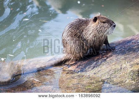 A nutria for skin care on a big tree trunk