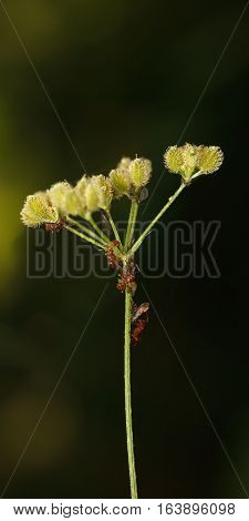 Ants And Feeding Plant Louse