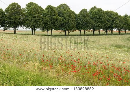Poppies in a corn field with an avenue in the background