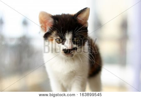 A white and tortoiseshell kitten with a black moustache