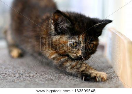 A tiny tortoiseshell kitten having a stretch