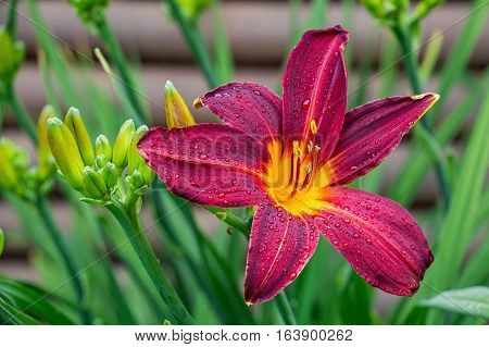 Image of crimson colored daylily covered in raindrops