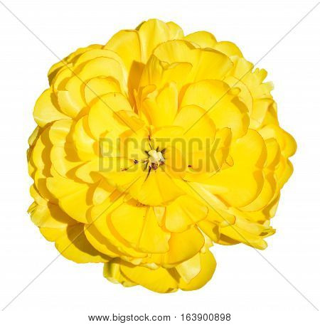 Bright beautiful yellow buttercup flower isolated on white. Spring yellow persian buttercup flower head (Ranunculus ) isolated on white background