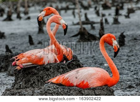American Flamingos or Caribbean flamingos ( Phoenicopterus ruber ruber). Colony of Flamingo on the nests. Rio Maximo Camaguey Cuba.