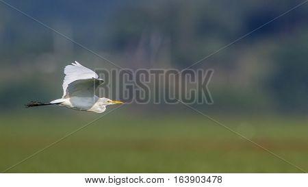 Intermediate Egret in Arugam bay lagoon, Sri Lanka ; specie Ardea intermedia family of ardeidae