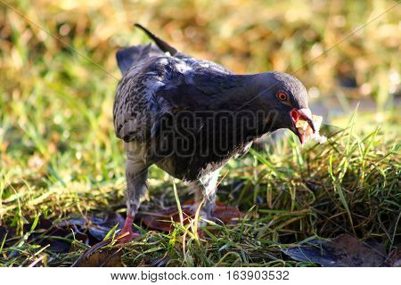A rather soggy pigeon filling its beak and crop with food