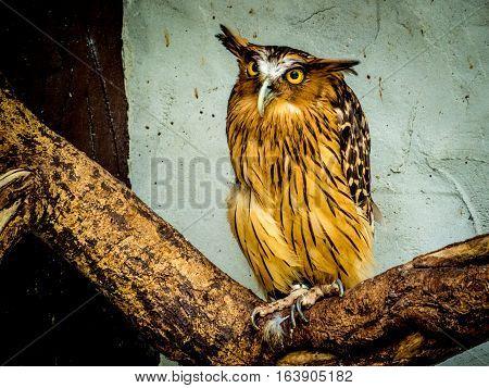 Buffy Fish Owl portrait, close up of yellow eyes