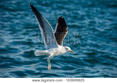 Flying Adult Kelp gull (Larus dominicanus) also known as the Dominican gull and Black Backed Kelp Gull. Blue ocean water background. False Bay South Africa