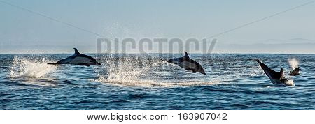 Dolphins swimming in the ocean and hunting for fish. Dolphins swim and jumping from the water. The Long-beaked common dolphin (scientific name: Delphinus capensis) in atlantic ocean.