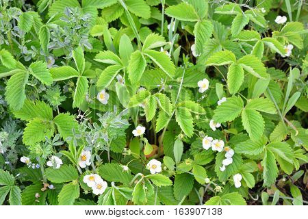 white flowers of wild strawberry with leaves
