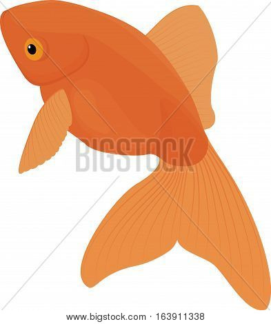 Carassius auratus, gold fish. Aquarium fish isolated on a white background