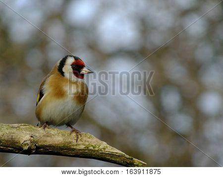 Goldfinch perched on an old trree branch during winter