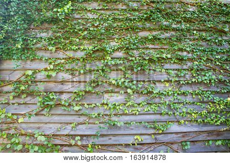 leaves Old wooden fence background plant texture