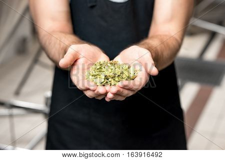 Brewer holding hop in the hands at the beer manufacturing. Close up view on the hands