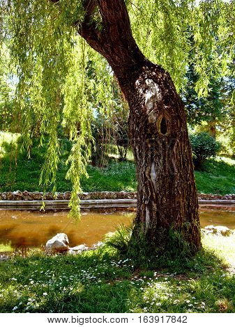 Old willow in old park