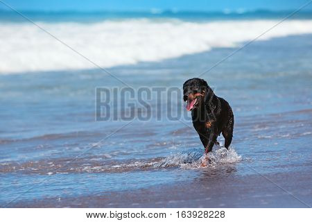Photo of rottweiler walking on black sand beach. Happy dog wet after swimming run with water splashes along sea surf. Actions training games with family pets and popular dog breeds on summer vacation