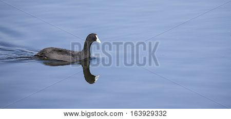 Red knobbed Coot swimming on smooth and blue water