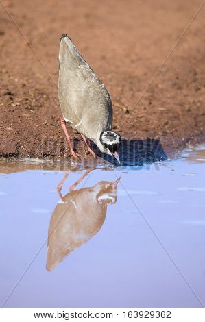 Crowned plover walking on the edge of a water pool looking for insets to eat
