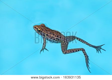Adult southern leopard frog (Rana sphenocephala) floats on the light blue water of a swimming pool in North Carolina