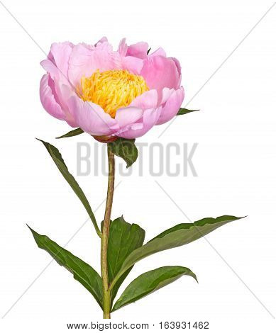 Stem leaves and flower of a single pink peony with bright yellow stamens isolated against a white background