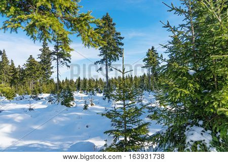 Beautiful winter landscape with fir trees - winter wonderland