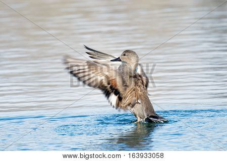 Gadwall (Anas strepera) on a lake during the Winter