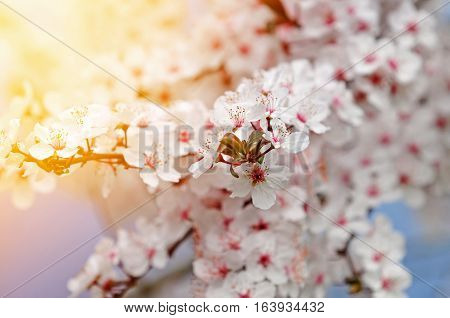 Beautiful white plum blossoms in warm light