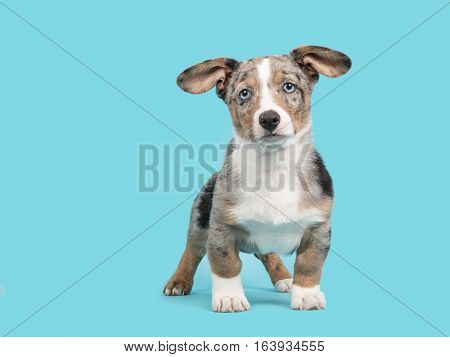 Cute blue merle welsh corgi puppy with blue eyes and hanging ears facing the camera standing on a blue background