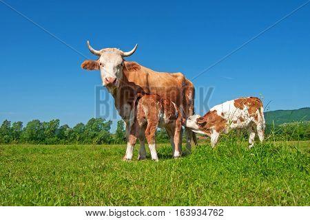 Cow in a field, feeding two calves