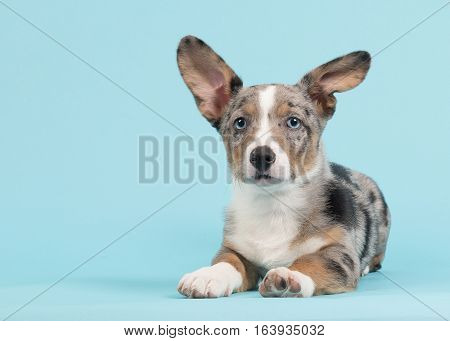Cute blue merle welsh corgi puppy with blue eyes with one standing and one hanging ear lying down facing the camera seen from the side on a blue background