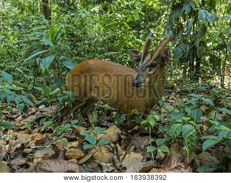 Indian (Barking Deer) muntjac at Chitwan National Park Nepal.