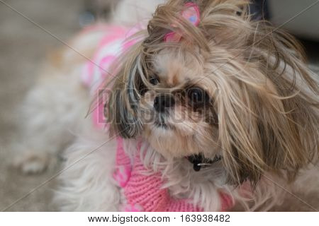 Small Cute White Shih Tzu With Pink Dress