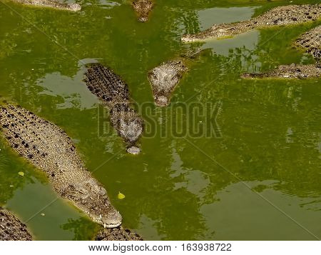 Freshwater crocodiles on river and river bank Siamese crocodile (Crocodylus siamensis)