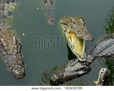 Freshwater crocodiles on river and river bank Siamese crocodile (Crocodylus siamensis)