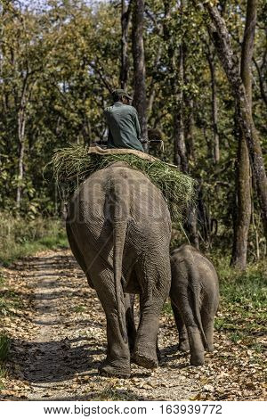 Man riding elephant in Chitin National park. Adult female elephant with baby elephant