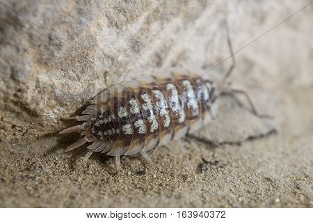 Oniscidae Oniscidea Armadillidium vulgare, terrestrial crustacean over sand, In its habitat of humidity and darkness
