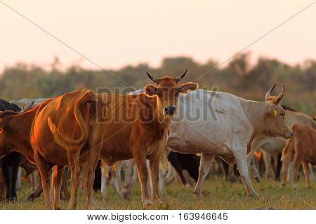 herd of feral cattle in sunset light at Sfantu Gheorghe Danube Delta Romania