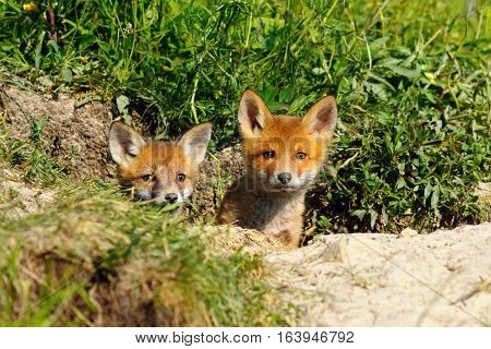 two cute young foxes at the entrance of the den ( Vulpes )