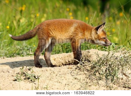 young european red fox exploring the surroundings near the den ( Vulpes )