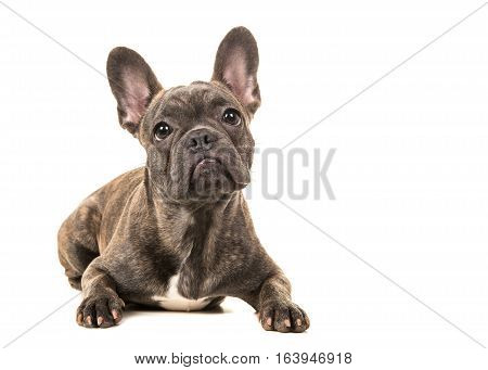 Cute french bulldog lying on the floor facing the camera isolated on a white background