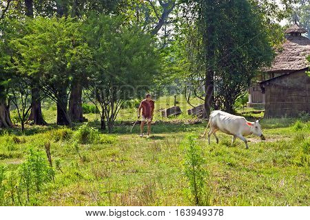CHITWAN, NEPAL - OCTOBER 14, 2008: Local man drives the white cow by cane to the barn in Chitwan National Park, Nepal. Park was established in 1973 and granted the status of a World Heritage Site in 1984