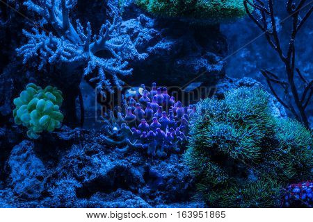 Gorgonaria Euplexaura, Sea Fan. Clavularia. Clavularia. Zoanthus. Reef tank, marine aquarium. Blue aquarium full of plants. Entacmaea quadricolor (Bubble tip anemone, Corn anemone). Night view.